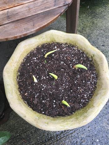 品種によって適切な深さに植え付けてあげましょう。 例えばチューリップは、深さ、球根2つ分程度。間隔、球根1つ分程度あけて植え付けます。  土は保水性、排水性が良い、有機質が含まれた市販の培養土を使うと便利。