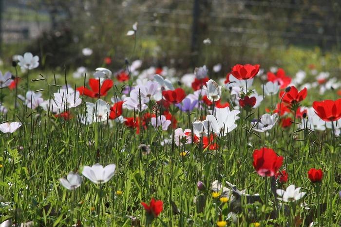 背丈20~40cmになります。3~5月頃に花が咲きます。 花は大輪で一茎に一花咲きます。品種により様々な形や花色があり、比較的長く楽しめます。