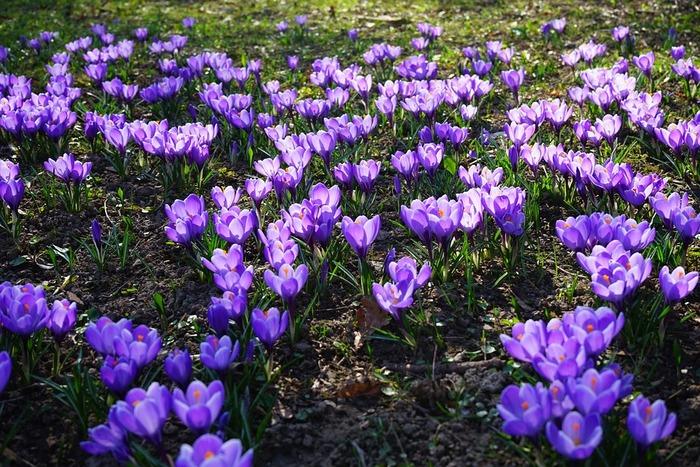 背丈8~15cmになります。2~3月頃に花が咲きます。 黄色の品種の多くは2月の早咲き種。いち早く春を告げ咲き出します。 白い葉脈が目立つ葉と、大きな花のコントラストが特徴。