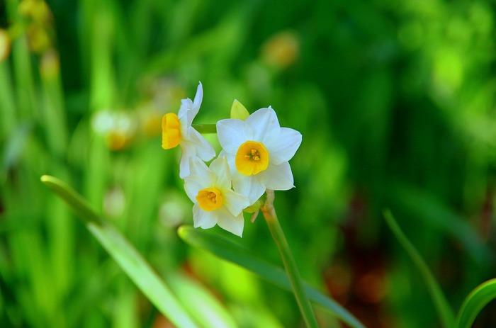 背丈10~30cmになります。12~4月頃に咲きます。香りがあるものも多いです。 ポピュラーなラッパ咲きやカップ咲き、八重、スズランなど様々な花のタイプがあります。