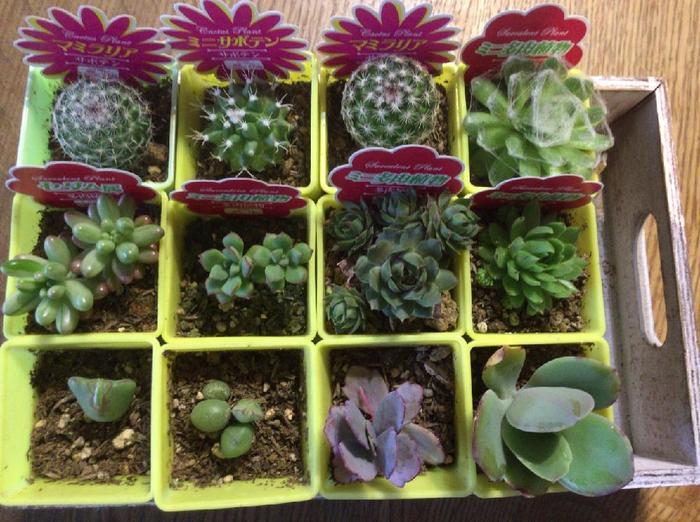 100円ショップでもしっかりとした苗が手に入りますよ。しおれたり、茎や葉がむだに伸びていない、ぎゅっと葉の詰まった苗を選ぶようにします。