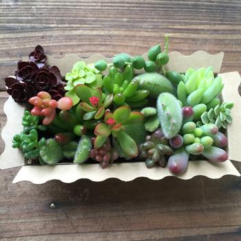 いろいろな品種をたくさん育ててみたい、という場合は、カット苗の詰め合わせがおすすめ。オークションやネット通販で多く取引されています。これだけで小さな寄せ植えが作れちゃいますね♪