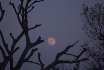 昔々、月には神秘的な力があると考えられていたのだとか。 月は約一ヶ月かけて満ち欠けを繰り返しますが、その様子が「ものごとや作物の成長」になぞられることも。