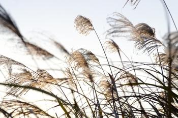お月見の飾りといえば、ススキですよね。ススキは収穫前の「稲穂」をイメージして飾られたり、魔除けの力があるともいわれていました。