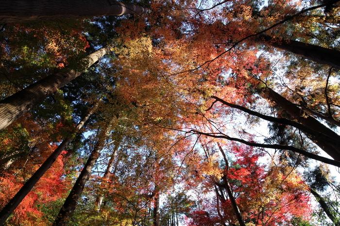 約2万平方メートルもの広大な敷地を誇る庭園内には、桜、カエデといった落葉樹がたくさん植樹されています。空を見上げると、色とりどりに染まった樹々の間から陽射しが差し込み、まるで秋そのものが天から舞い降りているかのようです。