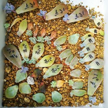 <手順>  ①葉を乾いた土の上に置きます。腐らないよう風通しのよい場所におき、水は与えないようにして。 直射日光に当たらない場所で根っこが出るのを待ちましょう。  ②10日〜20日ほどで発根し、小さな新芽がつきます。