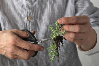 ②伸びすぎた根や、茶色くひからびた根はカットして整理しましょう。根腐れしないよう、直射日光が当たらない場所で根や切り口を2〜3日乾かしてから新しい鉢に植えます。  植え替え後も、根詰まりや土が古くなるのを防ぐために、二年に一回は植え替えしましょう。  ※カット苗の挿し木(挿し芽)のしかたは、この後ご紹介する方法を参考にして下さいね。