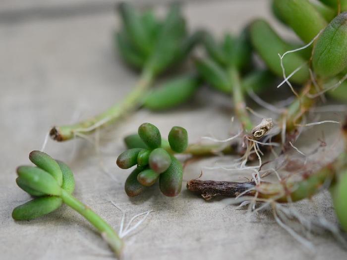 ④2〜3日で切り口が乾きますので、ここで土に挿すか、そのまま放置して発根を待ちます。 カットして2週間ほどか、遅いもので一ヶ月以上かけて発根します。発根までは水を与えません。(すぐ土に挿した場合は10日〜2週間ほどは水やりを控えます。)  ※多肉植物は葉を落としたりカットしたり、傷のつくようなことをしたら、水やりを数日控えてかさぶたのように乾くのを待ちましょう。傷口が濡れるとそこから腐る恐れがあります。雨にも濡れないように注意して下さいね。