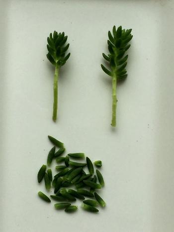 <挿し木の手順>  ①挿し木にする部分の数センチ下をカットします。  ②カットした挿し木の、茎の部分に葉がついていたら、植えやすいよう根元の葉を2〜3枚落として、茎を露出させます。落とした葉は、葉挿しに使ってみましょう。