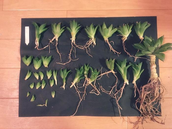 <手順> ①鉢から抜いて根をほぐします。茶色く痛んだ根があったら取り除きます。  ②なるべく根を切らないように注意しながら、外側から子株を外していきます。