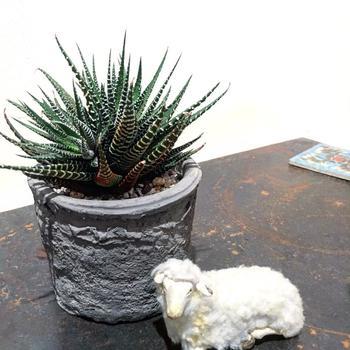 ハオルチアは通年室内で管理できる育てやすい植物です。明るく直射日光の当たらない、観葉植物と同じような場所での管理がおすすめ。 休眠期は月に1回ほど葉水を。また繁殖は、株分けによって数を増やします。  (写真は硬葉系ハオルチア「十二の巻」)
