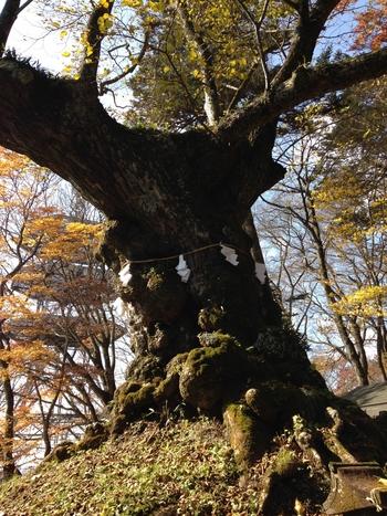 境内には室町時代中期に作られたと伝わる狛犬や、樹齢850年といわれる御神木のしなの木などがあり、しなの木は葉っぱがハートの形をしていることから、縁結びの神木として古くから信仰されています。