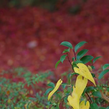 秋になると旬を迎え、さらにおいしくいただける山芋。 でも実は、「山芋」というイモの品種はなく、山芋とは「ヤマノイモ科」に属する芋類の総称で、長芋もこのヤマノイモ科に含まれます。長芋のほかに、大和芋、自然薯などさまざまな呼び名があるんですよ。
