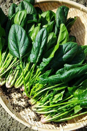栄養たっぷり!葉物野菜の王様、ほうれんそう。寒さに強く、むしろ寒さに当たったほうが甘く美味しくなるので、秋スタートにぴったり♪土壌が酸性だと育ちが悪くなるので、古い土を使う場合は苦土石灰を混ぜましょう。ホームセンターの野菜用土ならOK。背丈が20~25センチになったら収穫できます。  ■種まき・収穫■種まきは10月まで。2~3ヶ月で収穫できます。