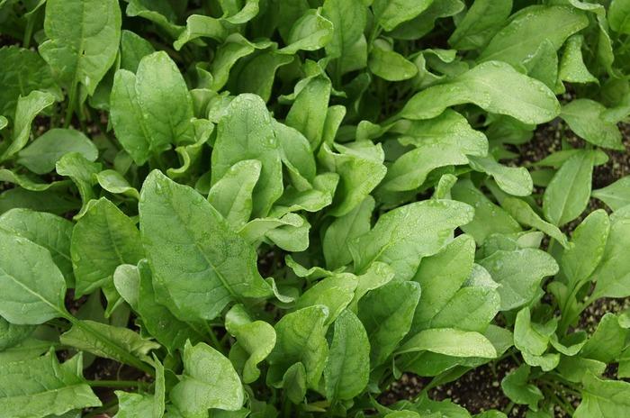 気温が低いために害虫が少なく、トウが立ちにくい(※)、熱い中作業しなくてすむ、などの理由があります。さらに、ほうれん草などの葉物野菜が冬の霜にあたると、甘みと柔らかさが増すといわれています。秋からはじめると、いいこといっぱいですね♪