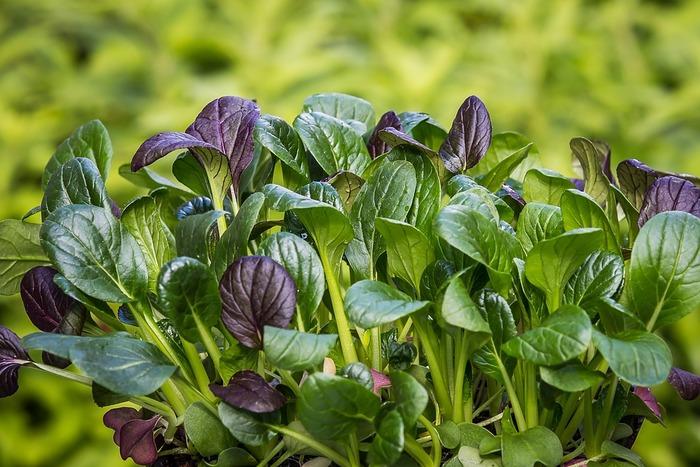 手軽に育てやすく、1~2ヶ月ですぐ収穫できるのが嬉しい小松菜。日当たりのよいところで育ちますが、半日陰でもOK♪タネをまいて芽が出たら間引きして、3~6センチは間をあけましょう。20~25センチに育ったら収穫できます。秋まきは虫が減るので育てやすい季節です。  ■種まき・収穫■種まきは10月まで。1、2ヶ月で収穫できます。