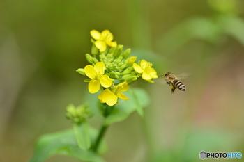 ※トウが立つ、というのは「花が咲く」という意味です。植物は全力で花を咲かせるので、花が咲くと葉っぱ類は固く美味しくなくなり、食べごろではなくなります。