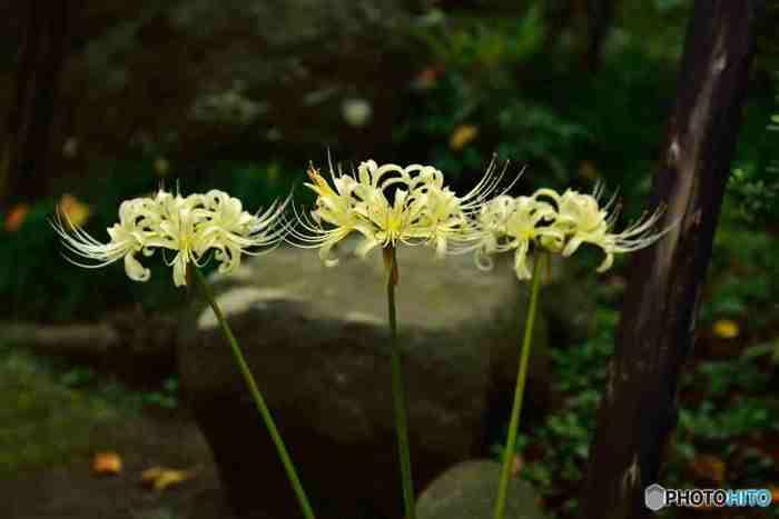 白い萩とともに初秋には、白い彼岸花もみられます。白い彼岸花は、もともと赤い彼岸花と黄色いショウキランという彼岸花の雑種だといわれています。赤と黄色が掛け合わされて、白い花が生まれたなんてとても神秘的な雰囲気が漂いますね。