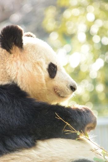 2017年6月12日に、上野動物園のパンダ「シンシン」がメスの赤ちゃんを出産しましたね♪