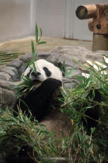 入るとすぐにパンダの室内部屋が並びます。床暖房も完備されていて、冬でもパンダが快適に過ごせるようになっているのです。タイミングが良ければパンダの食事姿を見ることができるかも♪