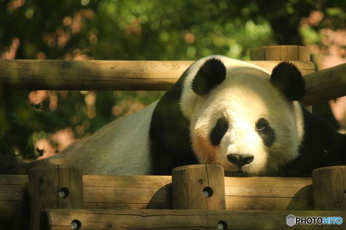 その奥には屋外放飼場。天気がいい日はこちらにいるパンダを見ることができるかも。ごろごろしているパンダもかわいいですよね。