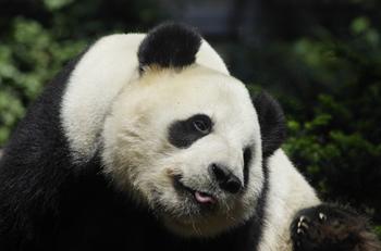 上野動物園にいる大人のパンダは現在、2頭。オスのリーリーは2005年生まれの優しくておおらかな性格のパンダです。走り回ったり、木に登ったりと活発な様子を見ることができるかも?