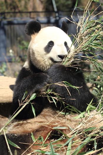 今回ママパンダとなったのが同じく2005年生まれの、シンシン。グルメなパンダで、竹の種類や質によって食べることろを変えるというこだわりがあるのだとか!  はやく赤ちゃんパンダに会いたいところですが、混雑する前にリーリーとシンシンに会いに行くのはいかがでしょうか♪きっとのんびり癒されるはずです。