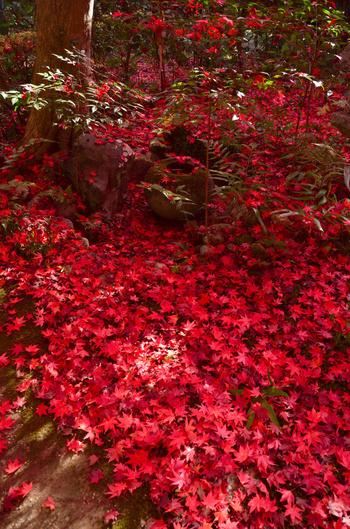 厭離庵は比較的規模の小さい寺院ですが、散紅葉の美しさは傑出しています。深紅に染まった散紅葉が、境内の庭園を覆い尽くし、天然の赤い絨毯が境内に敷き詰められます。