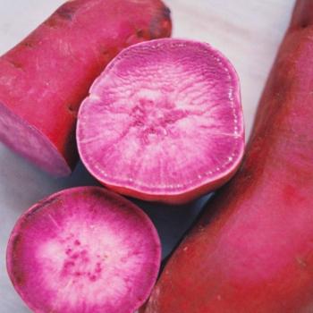 外見も中身も鮮やかな紅色の、秋の香りがするムラサキイモ。 ムラサキイモは、サツマイモ本来の成分の他に、ブルーベリーにも含まれているポリフェノールの一種、アントシアニンが豊富に含まれているそう。