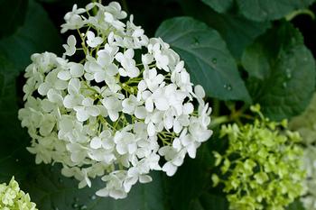 咲き始めは純白のアナベルですが、秋が近づくにつれて綺麗な黄緑色に。色が変わってからが、ドライフラワーにする絶好のタイミング。大輪のお花は、アレンジしても主役を張れる存在感です。