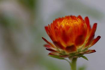 色が鮮やかで、生花でもカサカサとした質感のヘリクリサムは、簡単にドライフラワーになります。重なり合った小さな花びらも可憐ですね。