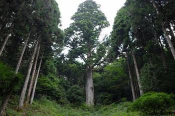 樹齢450年以上、高さ53m天城一の太郎杉。 森の代表的な巨樹・巨木を選定した『森の巨人たち100選』にも選ばれています。