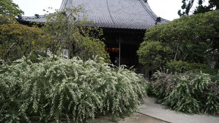 境内には200株もの白萩が植えられ、初秋の鎌倉の名所となっています。