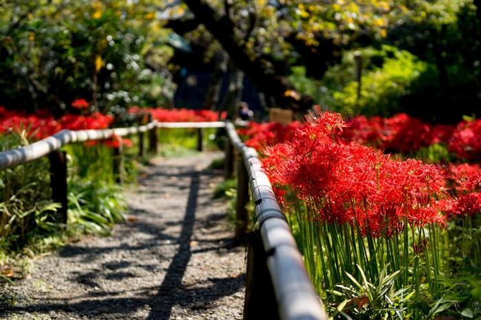 すっと伸びた茎に繊細な花びらが美しい赤い彼岸花。たくさんの彼岸花が咲き誇る様子はどこか幻想的でさえあります。静かな英勝寺の雰囲気によく似合いますね。