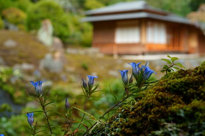 鎌倉市の市章にもなっているリンドウも海蔵寺で見られます。鮮やかなブルーのリンドウは葉っぱがすらりとして、横から見ても美しいお花です。