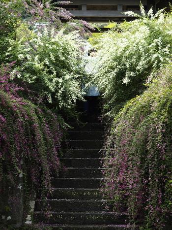 流れるように萩の花が生い茂っています。ここを通ると清々しい気持ちになれそうです。