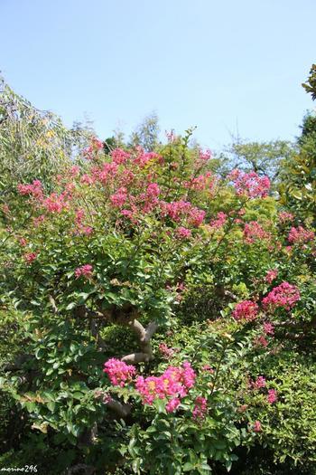 可愛らしいピンクの花をつけるサルスベリは、漢字で書くと百日紅となります。その名の通り、夏から秋にかけて開花時期が長いことでも知られ、見る人の目を楽しませてくれます。