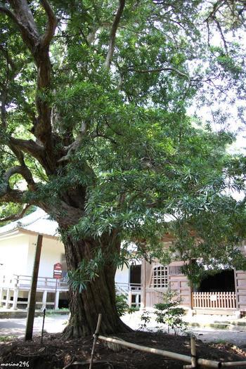 こちらは阿弥陀堂前にある大木のイヌマキ。創建時に植えられたといわれ、推定樹齢は約750年にもなります。鎌倉市の指定文化財にもなっています。