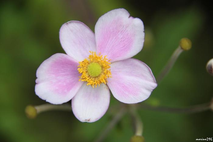 淡い紫のグラデーションが美しいのは、シュウメイギクです。漢字では秋明菊と書きます。花びらのように見えるのは、実は萼片で花弁は退化しているという面白いお花です。茎の先から花が咲いていくという特徴があります。