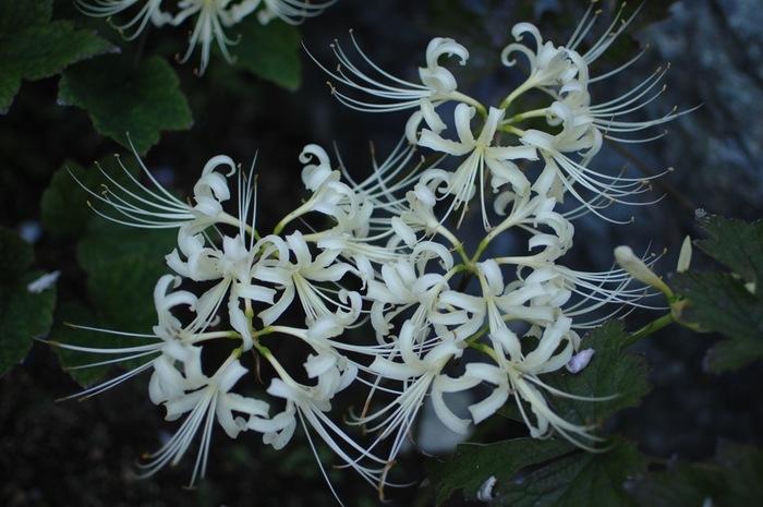 やわらかなオフホワイトの彼岸花は、秋を代表するお花です。曼殊沙華という優雅な別名に表されるように、気品あふれる姿に心が洗われます。
