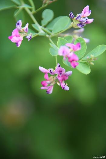 流鏑馬馬場の東の鳥居の横には紫の小さなお花が愛らしい萩も咲いています。自然の色合いのグラデーションというのは、見ていても飽きないものです。