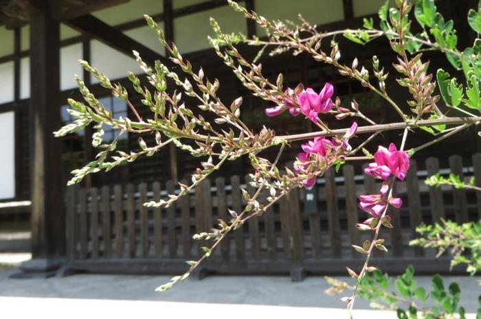 萩の寺としても知られる浄光明寺には、濃い赤紫の萩が美しく咲き誇ります。