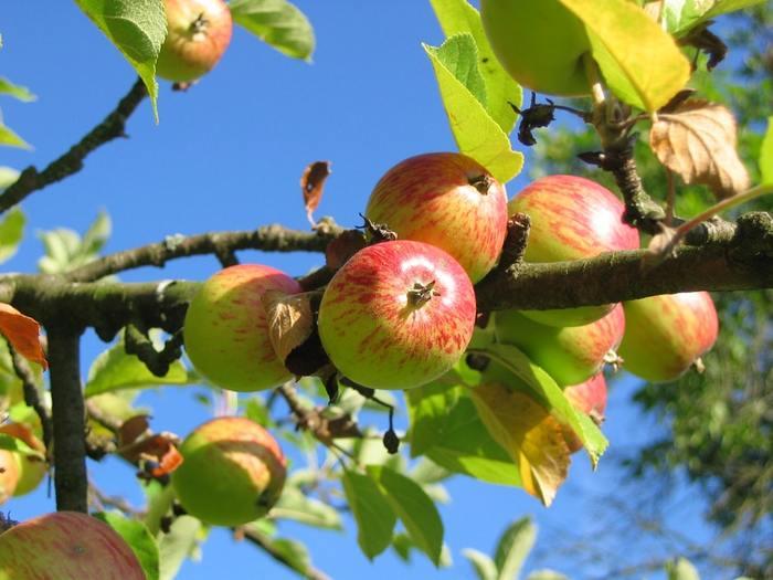 約6.5万m² の広大な敷地のなかで、9月下旬から11月まで楽しめるのがりんご狩りです。(9月中なら、大粒のぶどう狩りも楽しめるかもしれないので、お出かけ前にチェックしてみてくださいね) *写真はイメージです