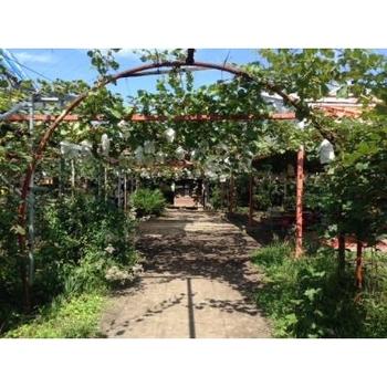 40年の歴史を誇る秩父観光ぶどう農園。雨の日も楽しめる屋根付きのぶどう棚もあるので、お天気を気にせず予定を立てられるのも嬉しいですね。