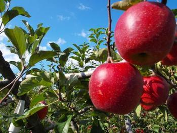 りんご狩りでは、ふじや紅玉、王林、シナノスイートなど時期によっては10種類以上のりんごがあるのだとか。