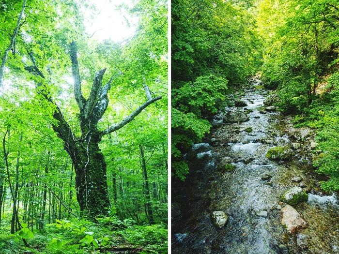 左は岳岱自然観察教育林内にある、通称「400年ブナ」。白神のシンボルとされ、樹齢400年を越える大木は圧倒的な神々しさ。白神山地では美しい川や滝、森を目にすることができます