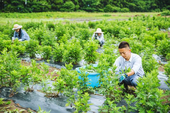 白神研究所スタッフの髙橋さん。県内の高校の生物資源科を卒業後、入社。慣れた手さばきでヨモギの収穫を見せてくれました
