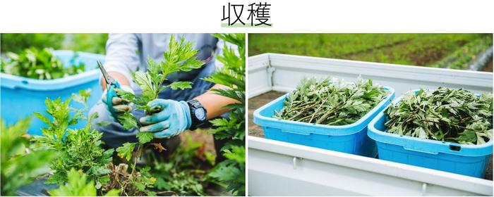 枯れたり、傷ついている葉を丁寧に除去し、元気な葉だけを収穫。商品によって収穫時期を変えている植物もあるのだとか。無農薬で育てているため、除草などもすべて手作業。虫なども見落とさずに取り除いています