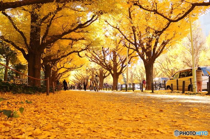 まるで映画の中のような美しい黄色の絨毯の上を、颯爽と自転車で走る姿は想像しただけでもワクワクします。