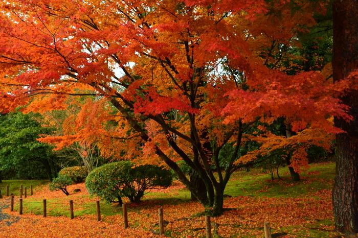 深紅、朱色、橙色に彩った樹々は、平等院が持つ洗練された優美な美しさを引き立てています。